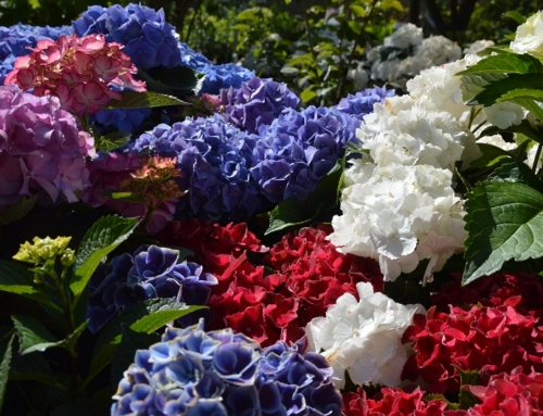 Hortensien und Magnolien – ideale Sommerbegleiter