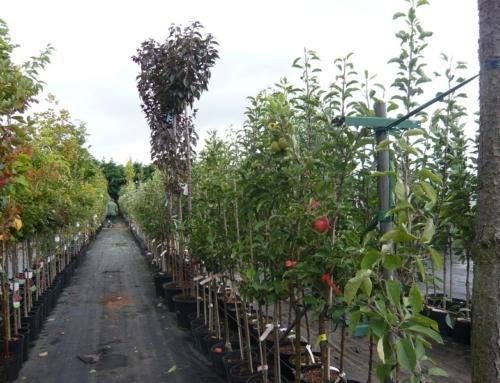 Containerobstbäume im Frühherbst