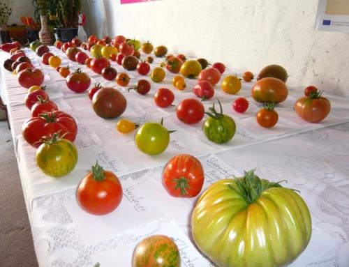 Tomatensaatgut – Bestellung und Versand