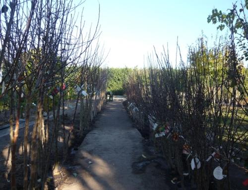 Obstbäume und Rosen als Wurzelware/Apfelausstellung/Apfelbestimmung/Früchteverkauf