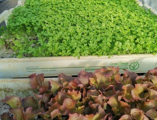 Die ersten Gemüsejungpflanzen für das Gewächshaus mit Liefer- und Abholservice