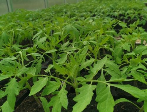 Verkaufsstart für Tomatenpflanzen in 30 Sorten – 1. Aussaatsatz