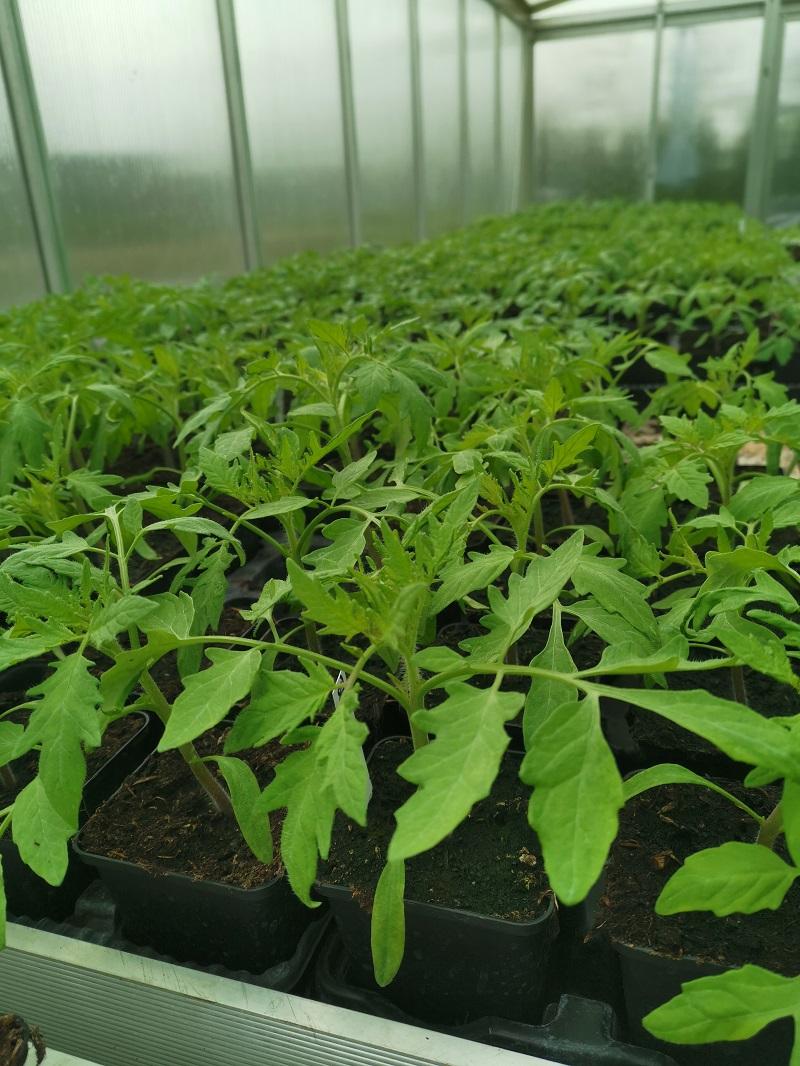 Tomatenpflanzen 2021
